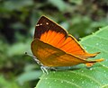 Loxura atymnus - Yamfly 05.JPG