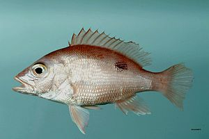 Northern red snapper - L. campechanus, from the Gulf of Mexico