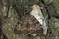 Lymantria dispar - para, Lodz(Poland)02(js).jpg