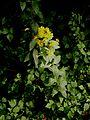Lysimachia vulgaris001.jpg