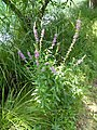 Lythrum salicaria Lago di Valle 01.jpg