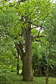 Męcka Wola,technikum leśne,gmina Sieradz,dąb szypułkowy,obwód 470 cm.jpg