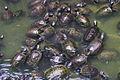MY-penang-george-kek-lok-si-pond-inf.jpg