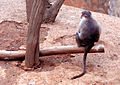 Macaca radiata (common Indian monkey) at IG Zoological park in Visakhapatnam 04.JPG