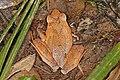 Madagascar jumping frog (Aglyptodactylus australis) Andasibe.jpg