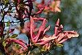Magnolia sp. (40750527335).jpg