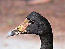 Magpie Goose444.jpg