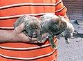 Mahogany and Blonde pups 2 days old.jpg