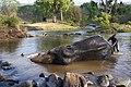 Mahout Bath Camp Elephant Moyar Mudumalai Mar21 A7C 00322.jpg