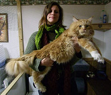 Maine coon de grand gabarit