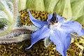 Makroaufnahme einer blauen Blüte 1.jpg