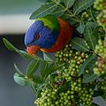 Male Rainbow Lorikeet.jpg