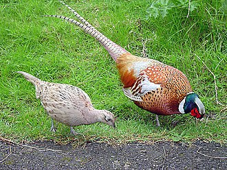 Galliformes - Female (left) and male common pheasants: Sexual dimorphism is conspicuous in this species, one of the most apomorphic gamefowl