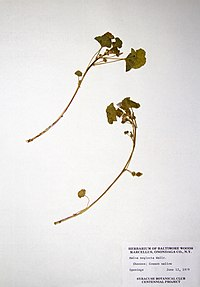 Malva neglecta BW-1979-0612-0436.jpg