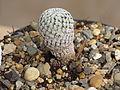 Mammillaria pectinifera 1.JPG