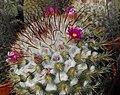 Mammillariabombycina.jpg