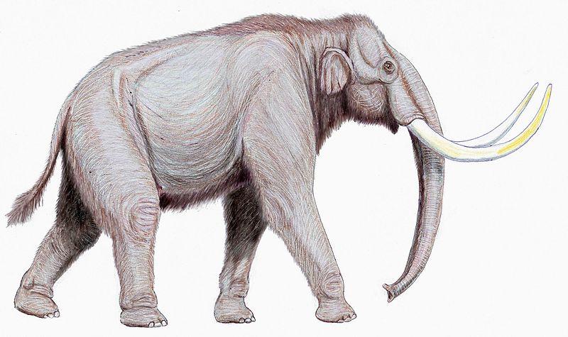 800px-Mammuthus_trogontherii122DB.jpg