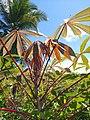 Manihot esculenta - leaves (Euphorbiaceae) 03.jpg