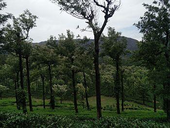 Manjolai Tea estate.jpg