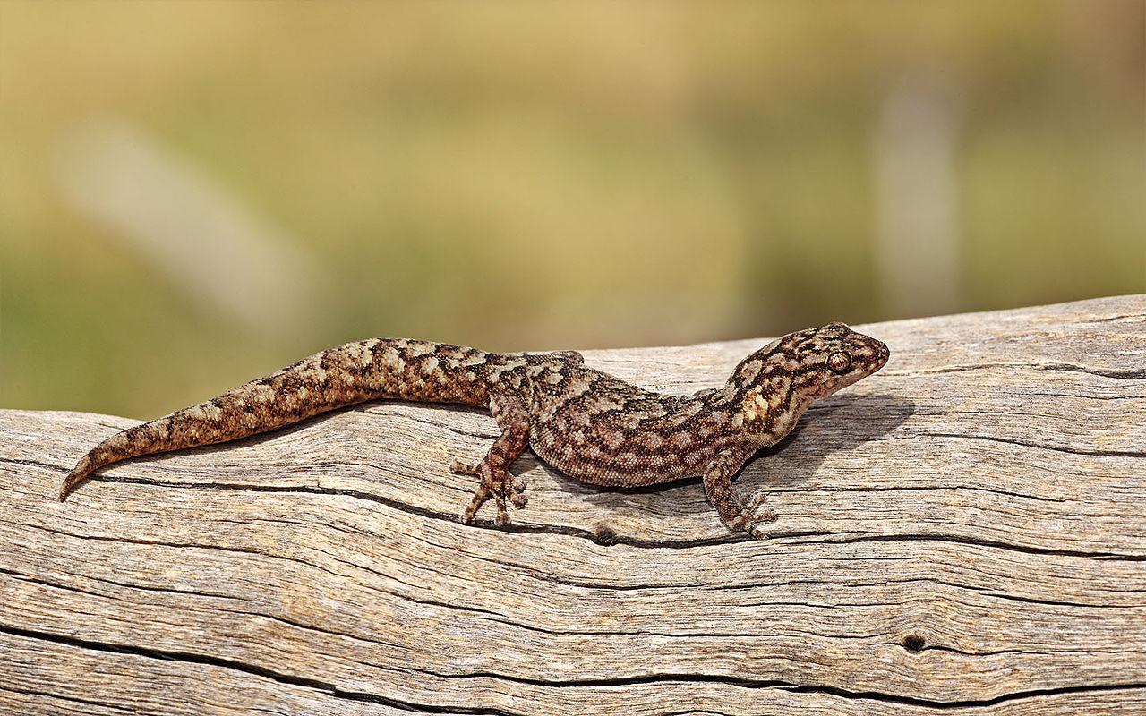 File Marbled Gecko Jpg Wikimedia Commons