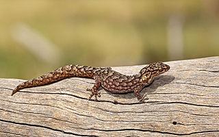 <i>Christinus marmoratus</i> Species of lizard