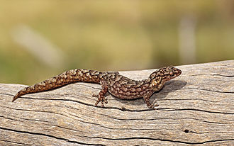 Christinus marmoratus - Image: Marbled Gecko