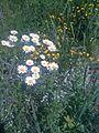 Marguerites et autres fleurs en bordure du Chemin Mille-Isles (4723646180).jpg