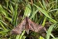 Marumba gaschkewitschii gressitti (35693220405).jpg
