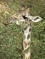 Masai Giraffe Giraffa camelopardalis tippelskirchi in Tanzania 0781 cropped Nevit.jpg