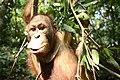 Mata indah orangutan Annie.jpg
