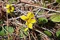 May 12, 2013 - Yellow Violet (8733124742).jpg