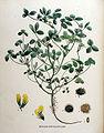 Medicago polymorpha—Flora Batava (1881).jpg