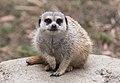 Meerkat looking towards camera at Oakland Zoo (10545745435).jpg
