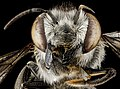 Megachile parallela, F, face, Tennessee, Haywood County 2013-01-22-14.52.28 ZS PMax (8410267881).jpg