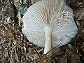 Megacollybia platyphylla Lamellen.jpg