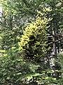 Melampsorella caryophyllacearum Italy.jpg