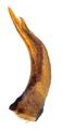 Melanophthalma suturalis (Mannerheim, 1844) Genital (39676604815).png