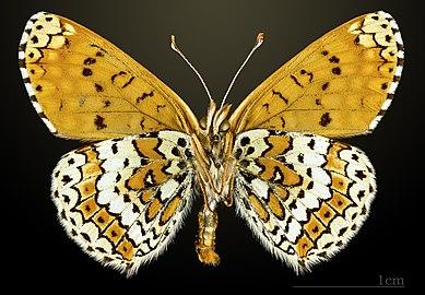 Melitaea cinxia MHNT CUT 2013 3 27 Avilly-Saint-Léonard ventral