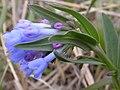Mertensia oblongifolia flowers (3525613924).jpg