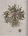 Mesembryanthemum apetalum L.; entire flowering plant with se Wellcome V0042927.jpg
