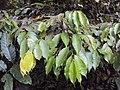 Meteoromyrtus wynaadensis 37.JPG