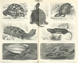English: Turtles. Français : Tortoises. Deutsc...