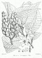 Michelia champaca Bra1.png