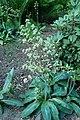 Micranthes pensylvanica kz06.jpg