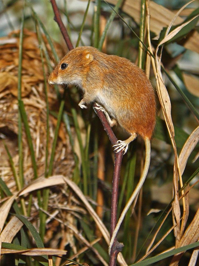 Myška drobná (Micromys minutus)