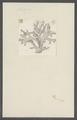 Millepora spec. - - Print - Iconographia Zoologica - Special Collections University of Amsterdam - UBAINV0274 111 07 0009.tif