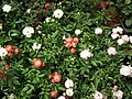 Miniature rose from Lalbagh flower show Aug 2013 8555.JPG
