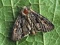 Mniotype ?adusta - Dark brocade - Полевая совка опаленная (41087032232).jpg
