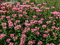 Monarda 'Croftway Pink' 04.JPG
