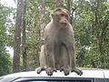 Monkey - കുരങ്ങൻ 03.JPG